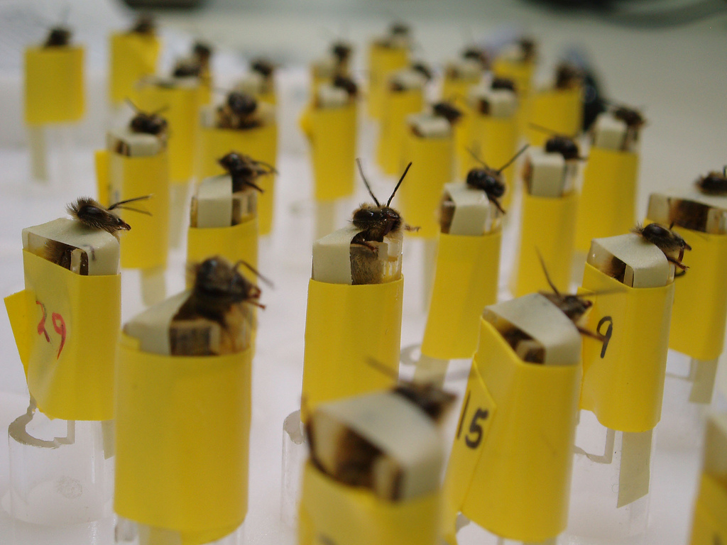 Bomb-sniffing bees. Image via the Los Alamos National Laboratory's Stealthy Insect Sensor Project